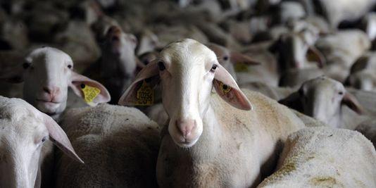Brebis dans la ferme bio La Martinerie à Millau, dans le sud de la France.  Source: AFP/PASCAL PAVANI, via Le Monde
