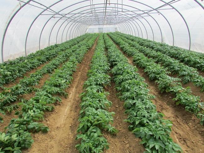 Les Jardins de Cocagne de Mâcon comprennent douze serres, dont celle-ci avec des pommes de terre fraîchement plantées (crédit : Camille Degano)