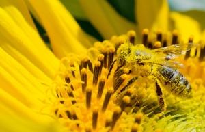 « Si l'abeille venait à disparaître, les conséquences seraient catastrophiques et irréversibles. » Crédit Photo : la maison de l'abeille.
