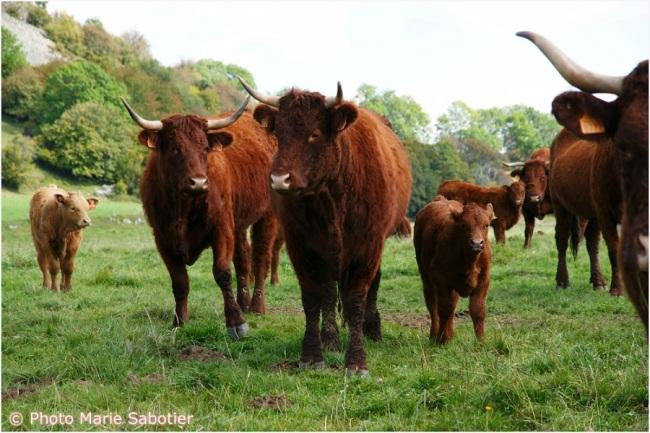 Bruno Dufayet possède un troupeau de 50 vaches Salers. (Crédit photo: Marie Sabotier)