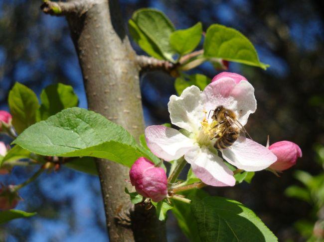Une abeille qui butine. (Crédit photo : Maria Gram Jensen)
