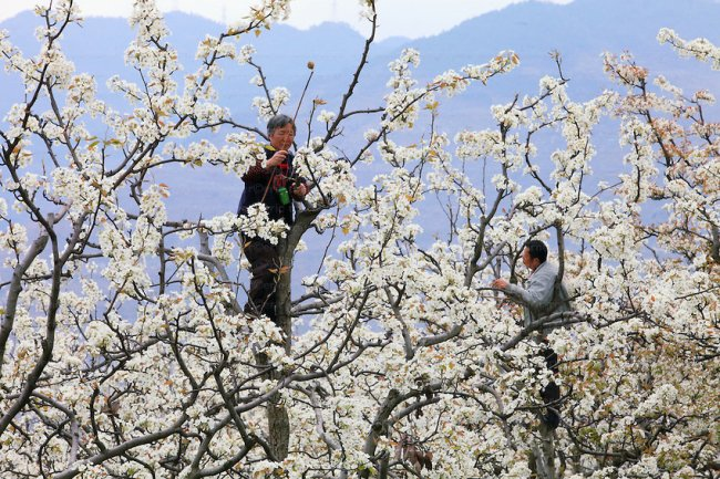 En Chine, où les abeilles se font rares, on pollinise les fleurs manuellement. (Crédit photo : zupimages.net)
