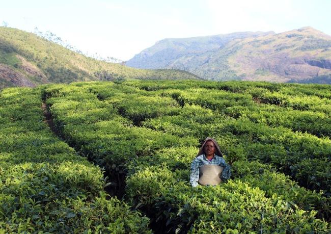 Légende: Une paysanne indienne dans un champ de thé à Munnar (Inde). Crédit : Jonas Armellini.