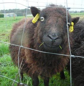 moutons-douessant