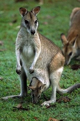 wallaby-tondeuse