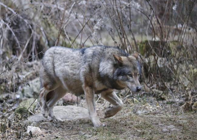 Loup parc alpha mercantour