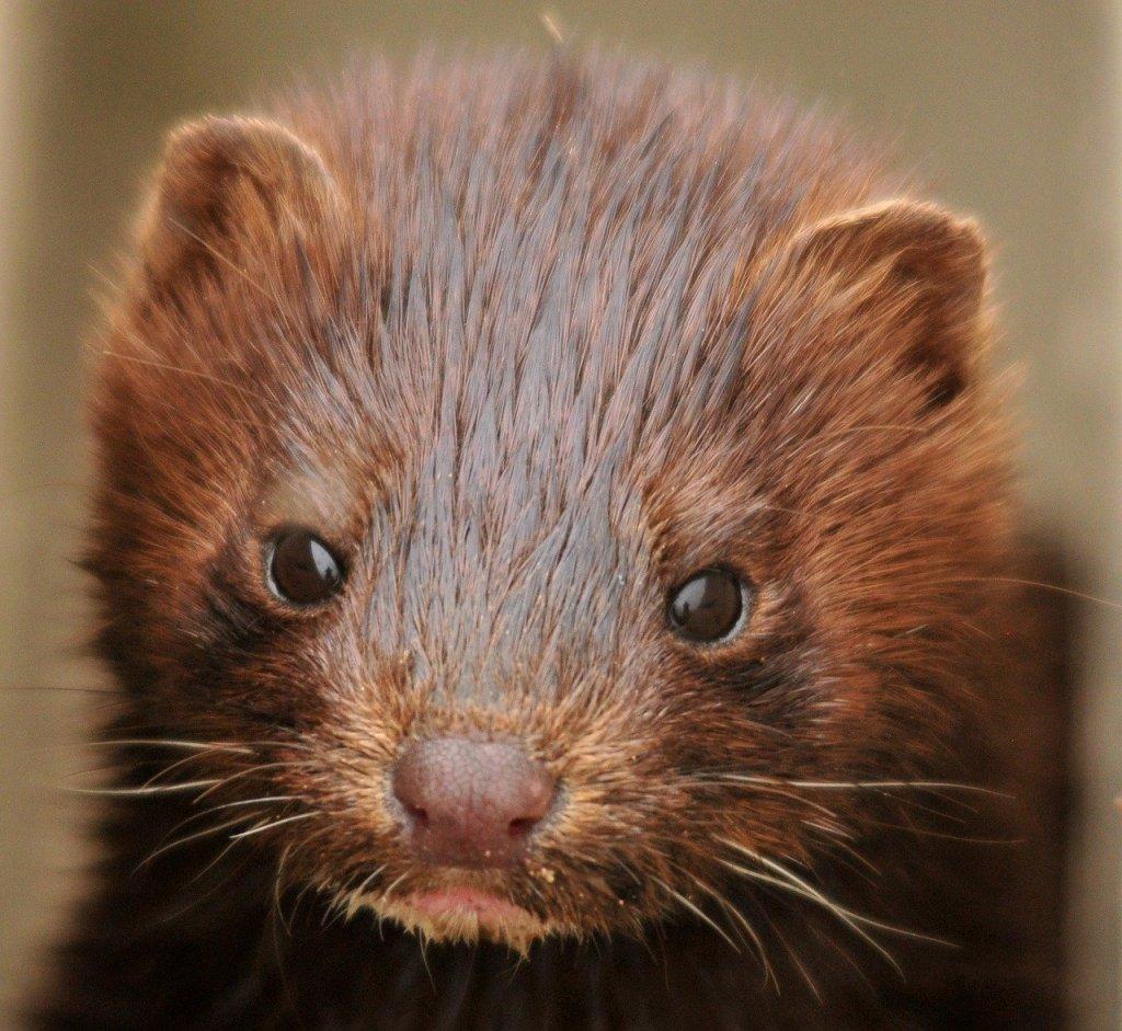Une image contenant mammifère, brun, vison, chat  Description générée automatiquement